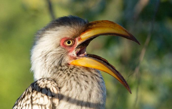 Hornbill Beak