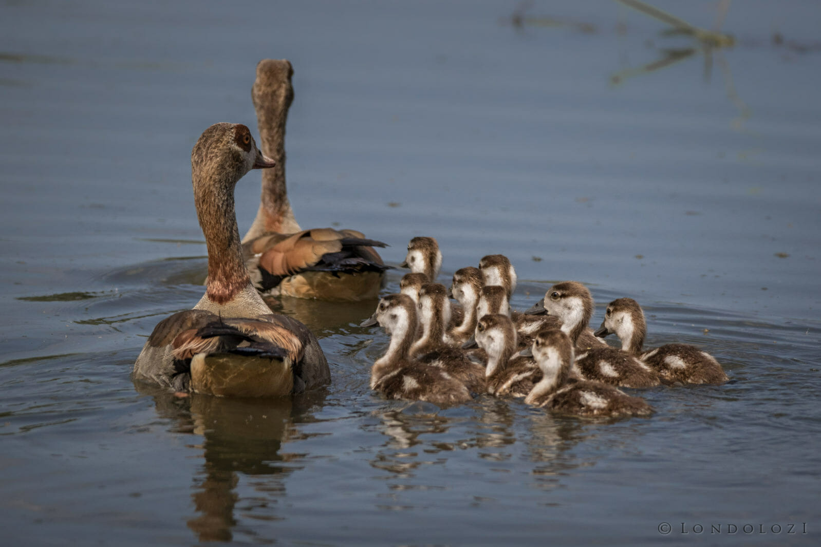 Two Egyptian geese and their ducklings swimming