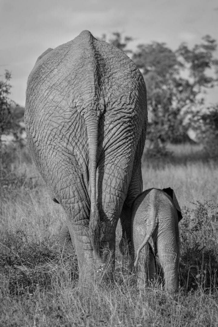 The backside of a baby elephant ands its mother walk into the distance in black and white at Londolozi