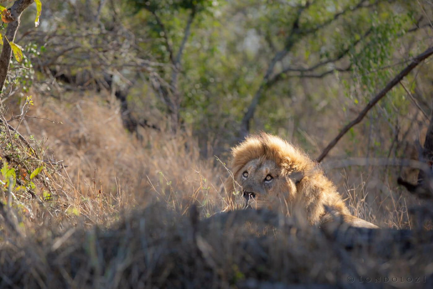 Birmingham Male Lion Stare