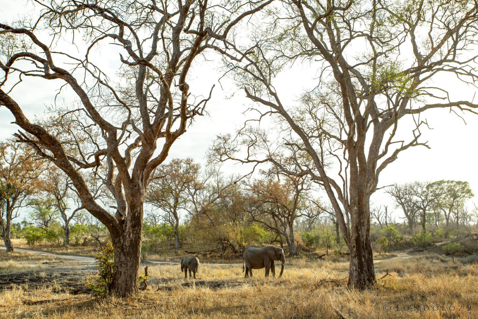 Elephants Leadwood
