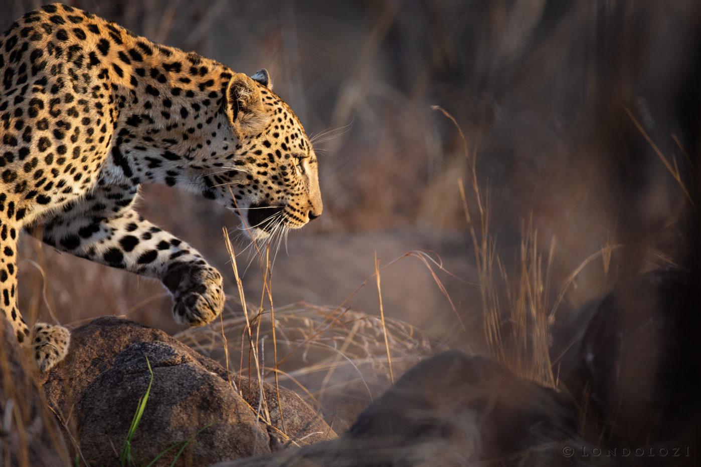 Ximungwe Female Leopard