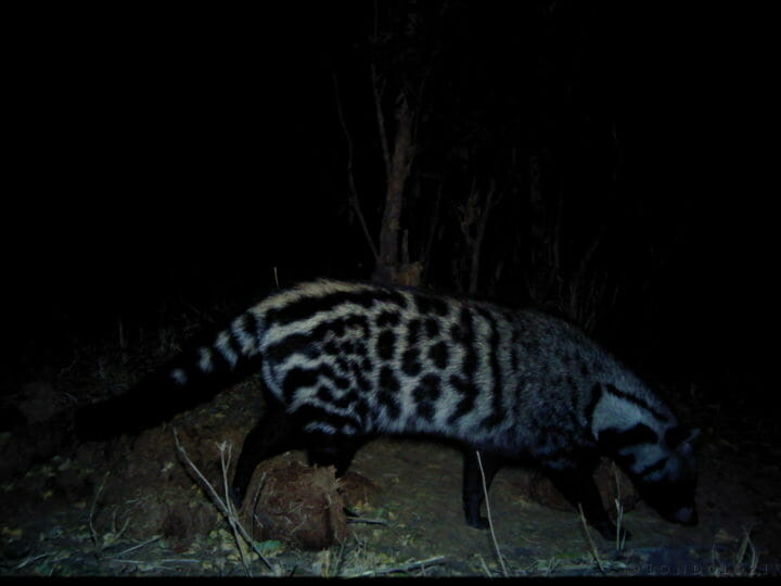 A civet walks past a camera trap at night set up at Londolozi