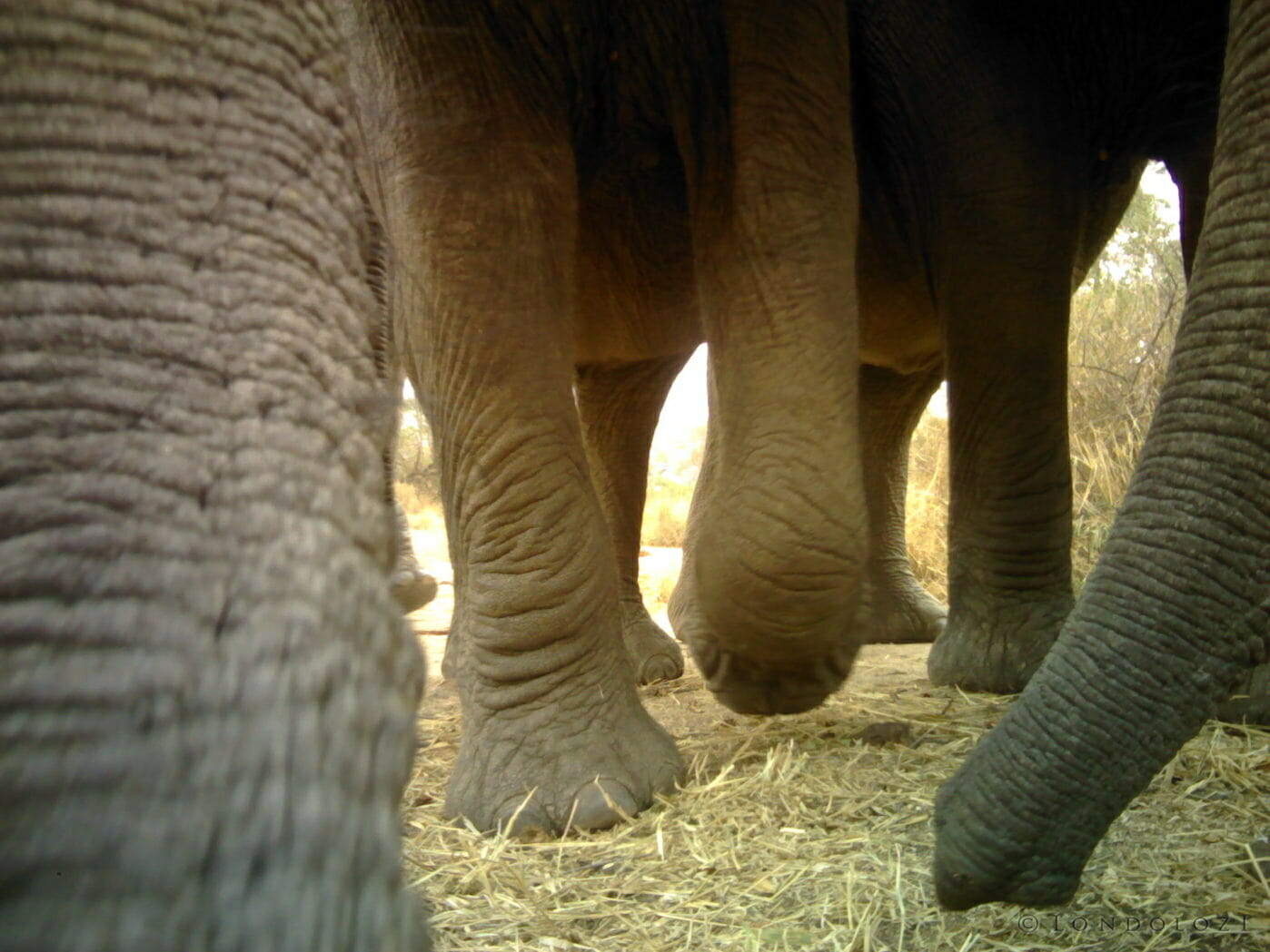 Elephant feet caught on a camera trap at Londolozi