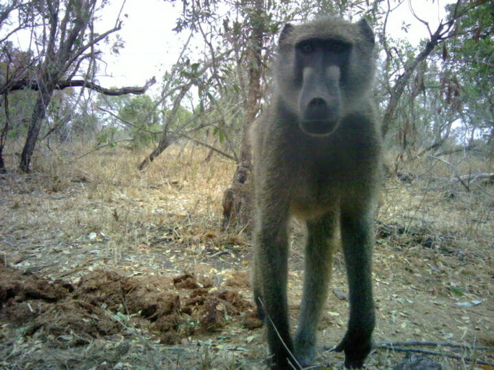 A baboon looks curiously into a camera trap set up in Londolozi