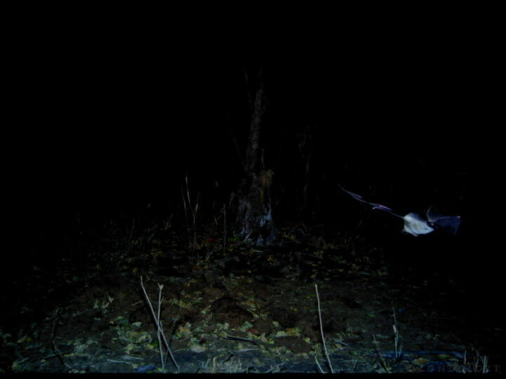 A bat is caught in flight at night on a camera trap in Londolozi