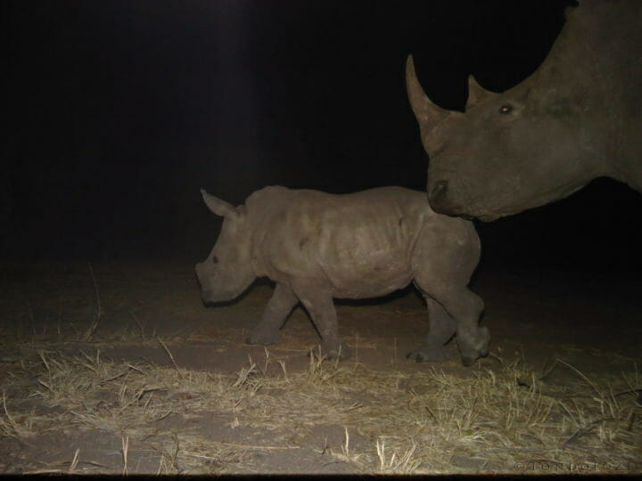 Rhino and rhino calf caught on camera trap at night at Londolozi