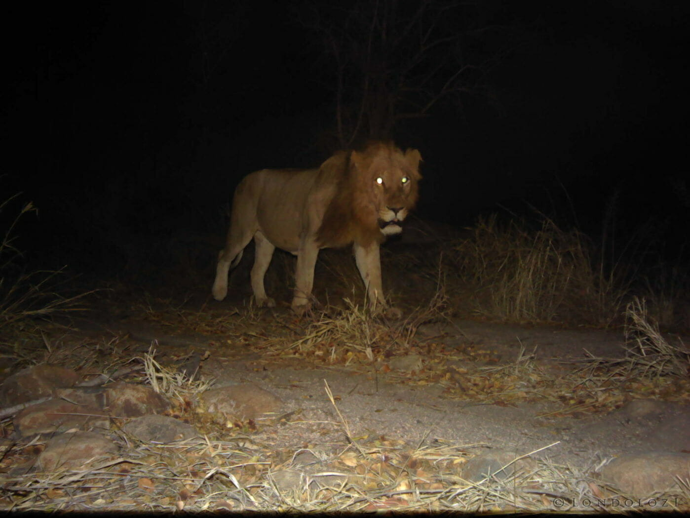 Male lion caught on a camera trap at night at Londolozi.