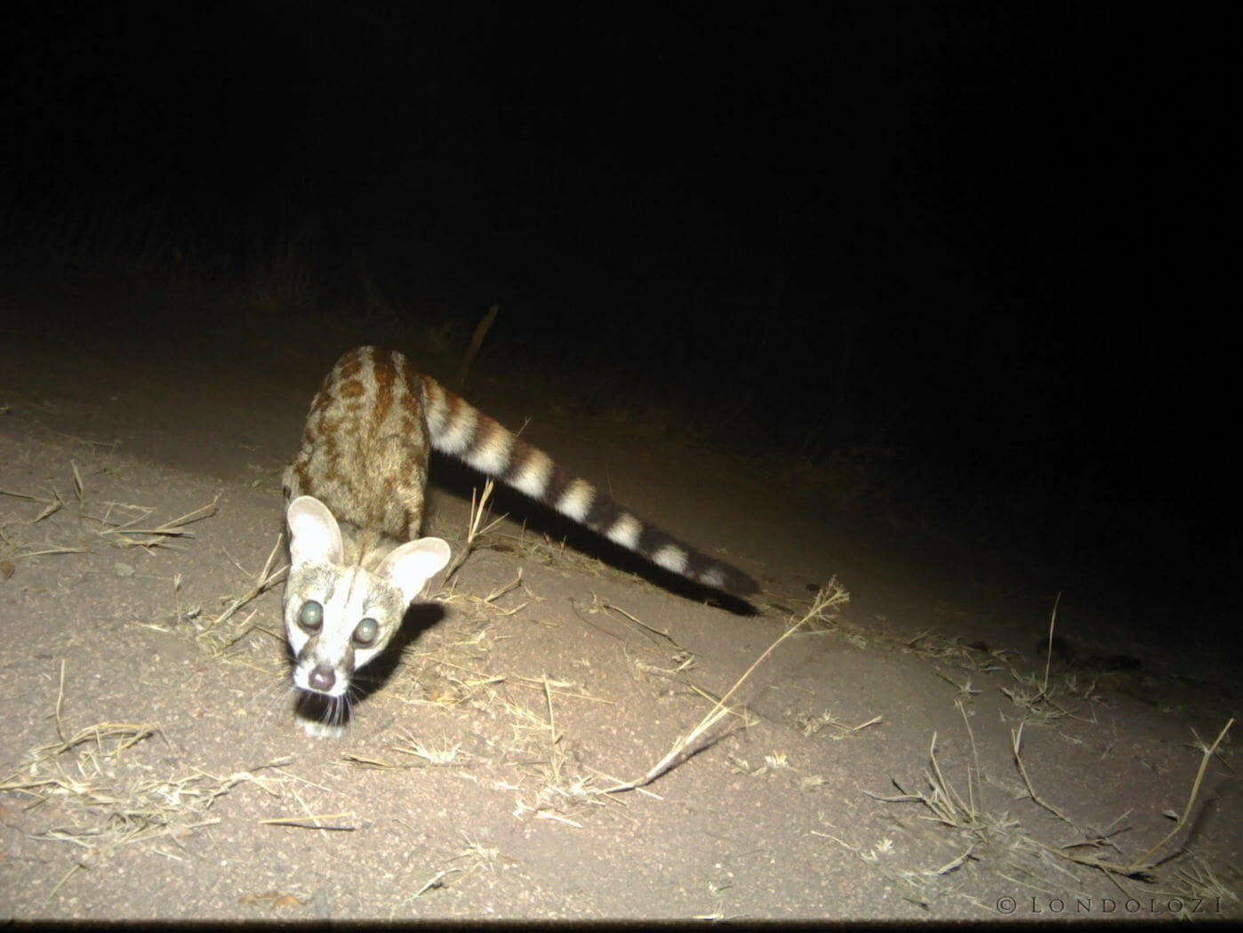 A large spotted genet looks curiously towards a camera trap set up in Londolozi