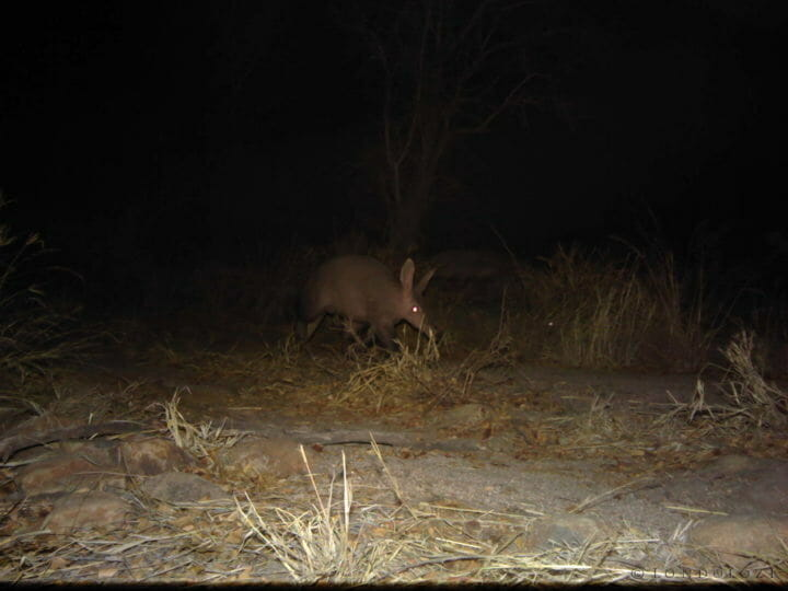 An aardvark is caught on a camera trap at night at Londolozi