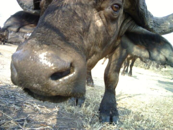 A curious buffalo looks at a camera trap at Londolozi