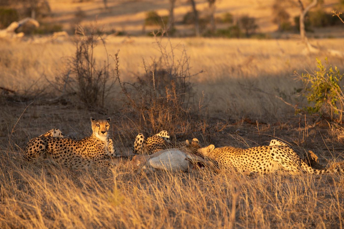 Cheetah John Mo 2