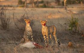 Cheetah John Mo 3