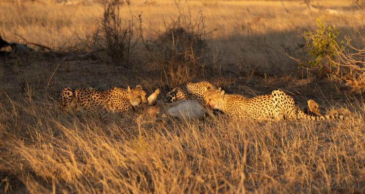 Cheetah John Mo