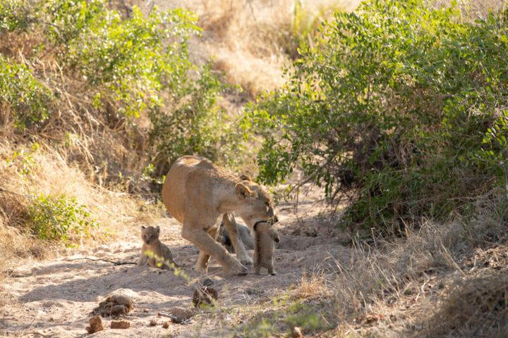 Ntsevu Lion Cubs John Mo 2