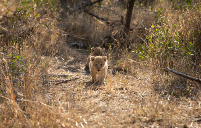 Ntsevu Lion Cubs John Mo 3