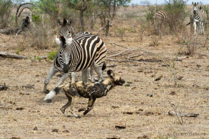 A Zebra chases a Wild Dog at Londolozi