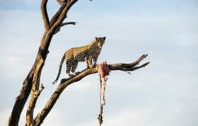 Mashaba Leopard 8