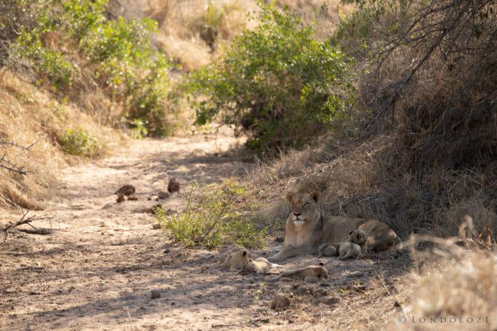 Ntsevu Lion Cubs John Mo 4