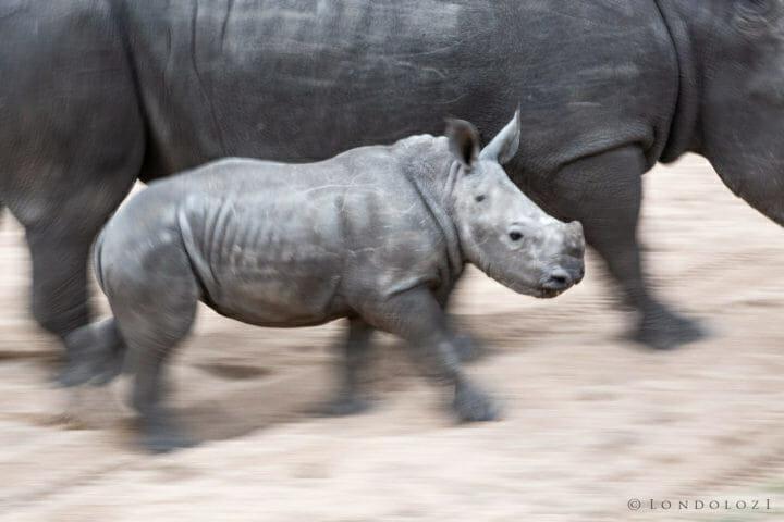 A Rhino Calf Blur