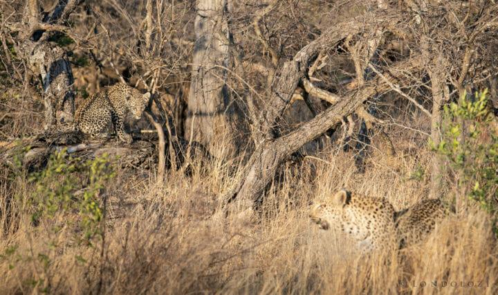 Nkoveni Leopard And Cub 4