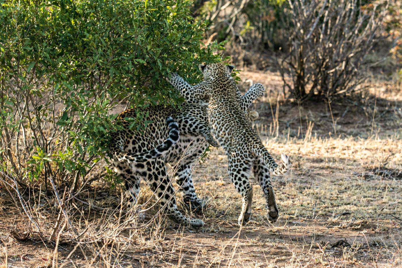 Nkoveni Leopard And Cub 10