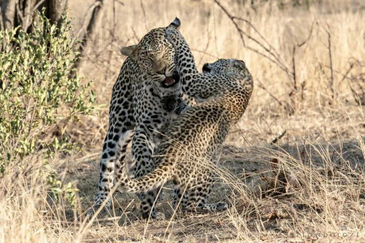 Nkoveni Leopard And Cub 13