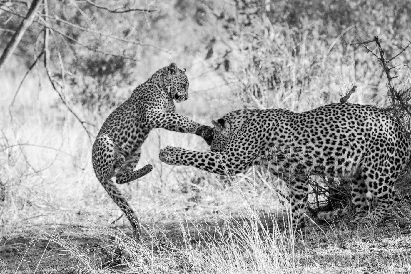 Nkoveni Leopard And Cub 14