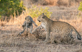 Nkoveni Leopard And Cub