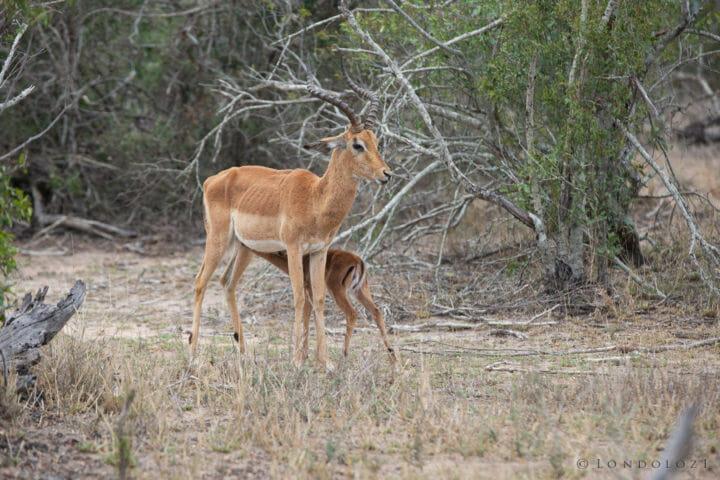 Impala Lamb 2