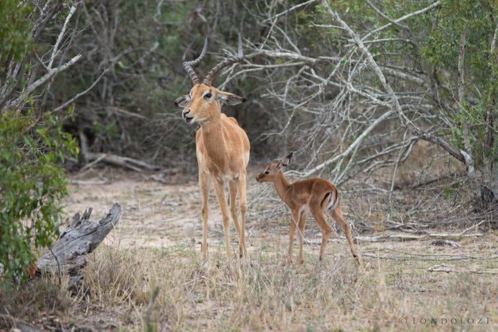 Impala Lamb 5