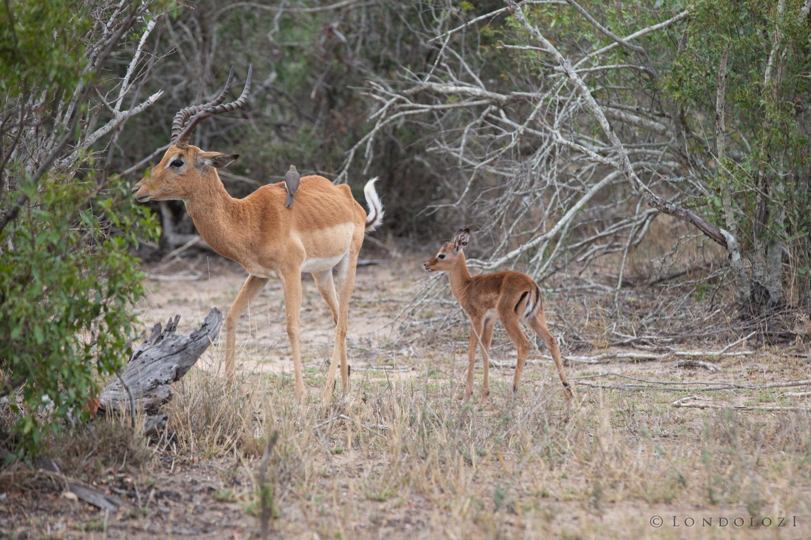Impala Lamb 6