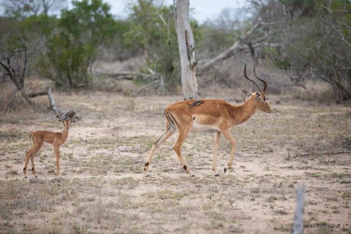 Impala Lamb 7