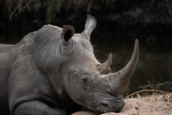 Rhino Reclining
