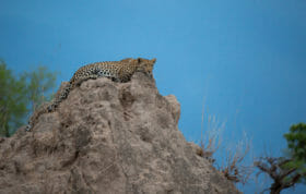Ingrid Dam Young Female Termite Mound Leopard