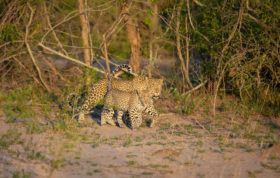 Nkoveni Female Leopard And Cub