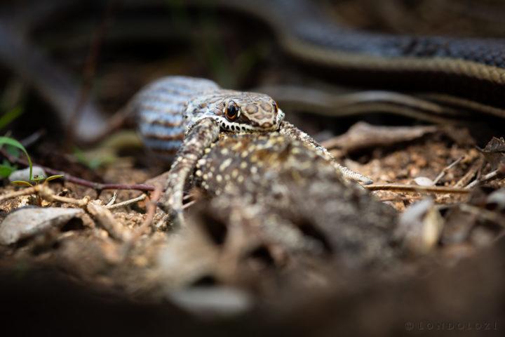 Snake Eat Agama