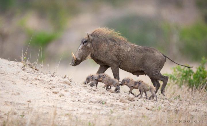 Tiny Warthogs