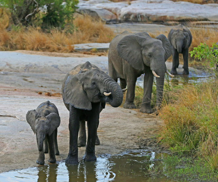 Elephants Drinking - Your ears will usually keep you out of trouble more than your eyes when out in the African bush. Hearing the snap of an elephant breaking a branch or the low growl of a lioness in...