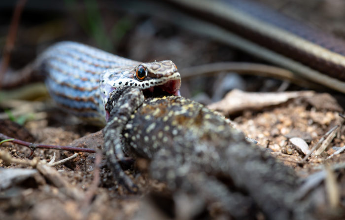 Sand Snake Agama Eat Lizard 2