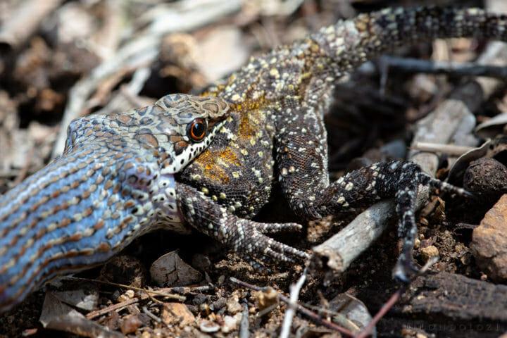 Sand Snake Agama Eat Lizard 3