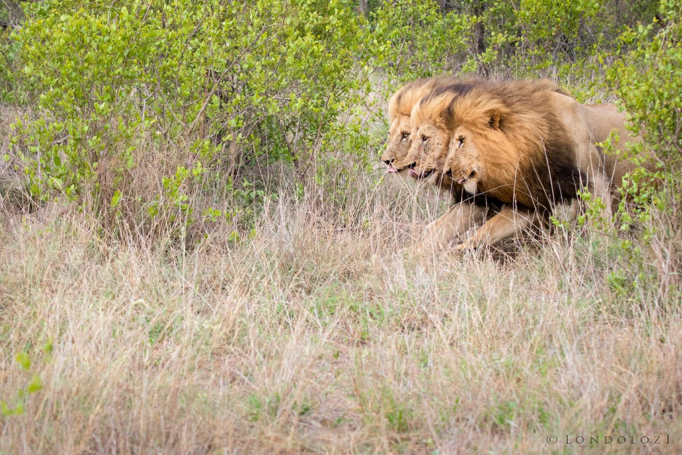 Birmingham Male Lions