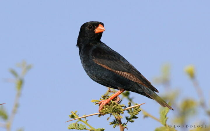 Village Indigobird, Vidua Chalybeata, At Mapungubwe National Par