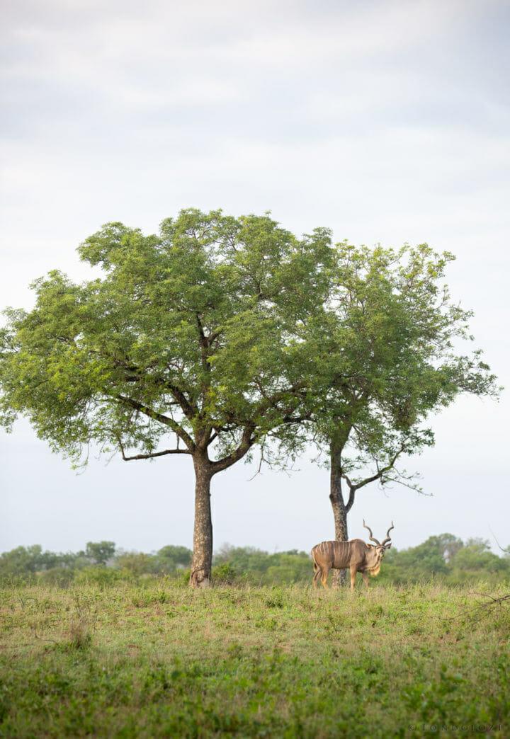 Kudu Marula