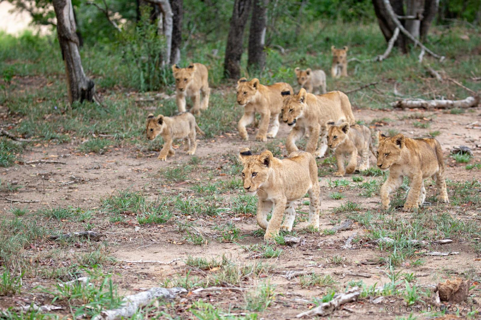 Ntsevu Lion Cubs