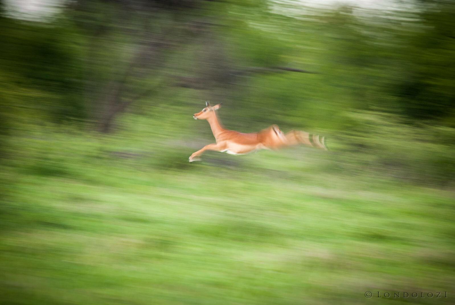 Impala Stot Blur