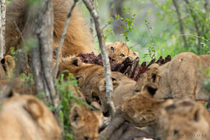 Ntsevu Lion Cubs Rudi 2