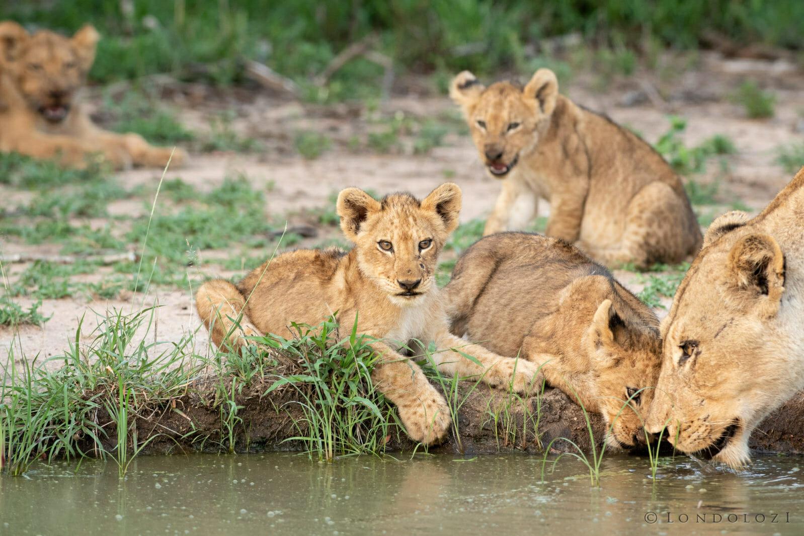 Ntsevu Lion Cubs Rudi 6