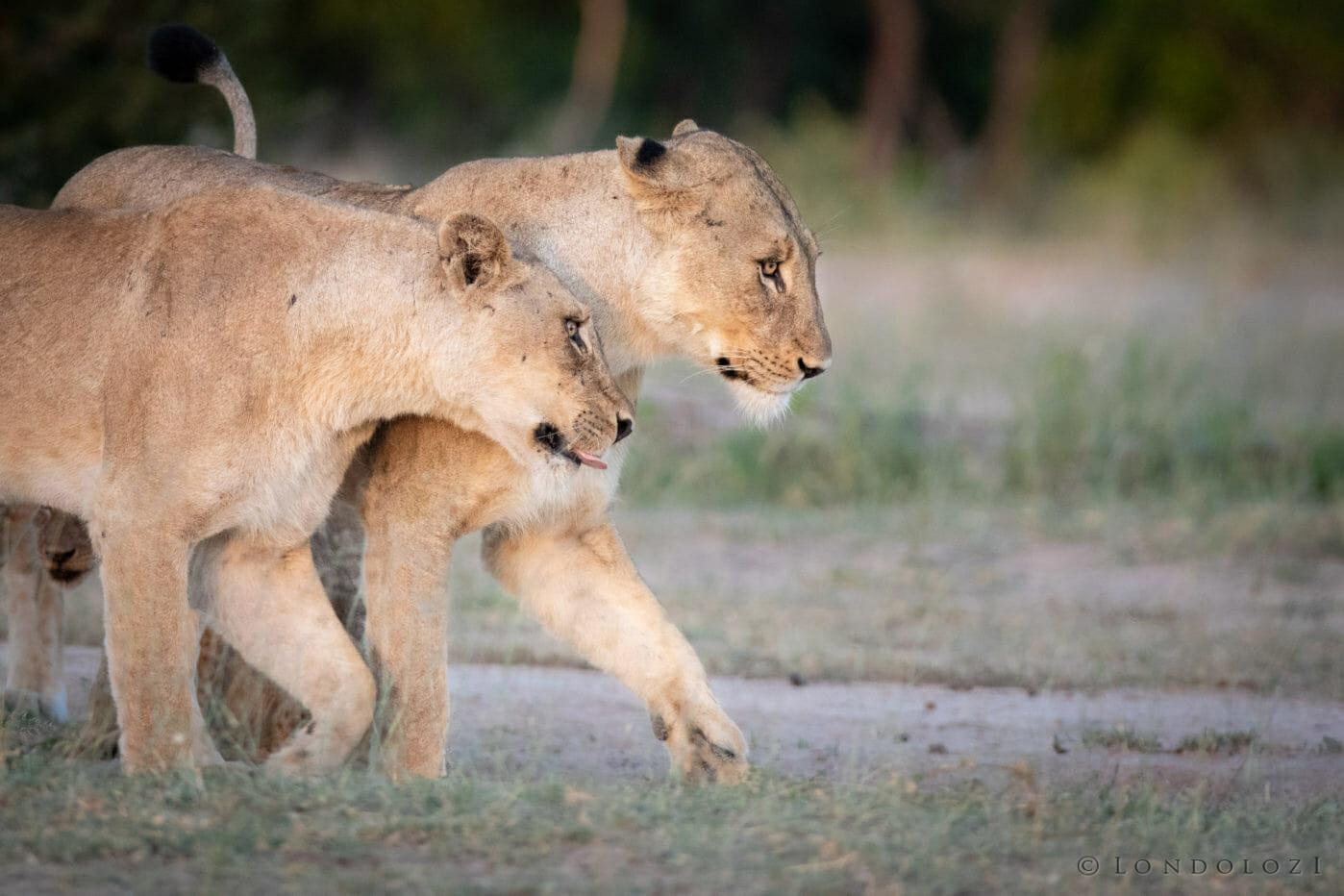 Ntsevu Lioness Jt