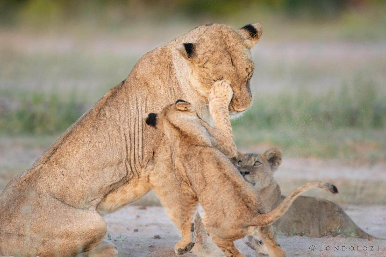 Ntsevu Pride Lions Jt 3
